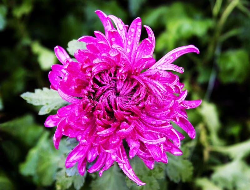 rött vatten för chrysanthemumfärg arkivbild