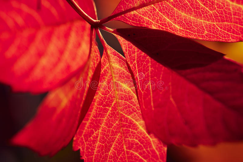 Rött vinbladåder arkivbild