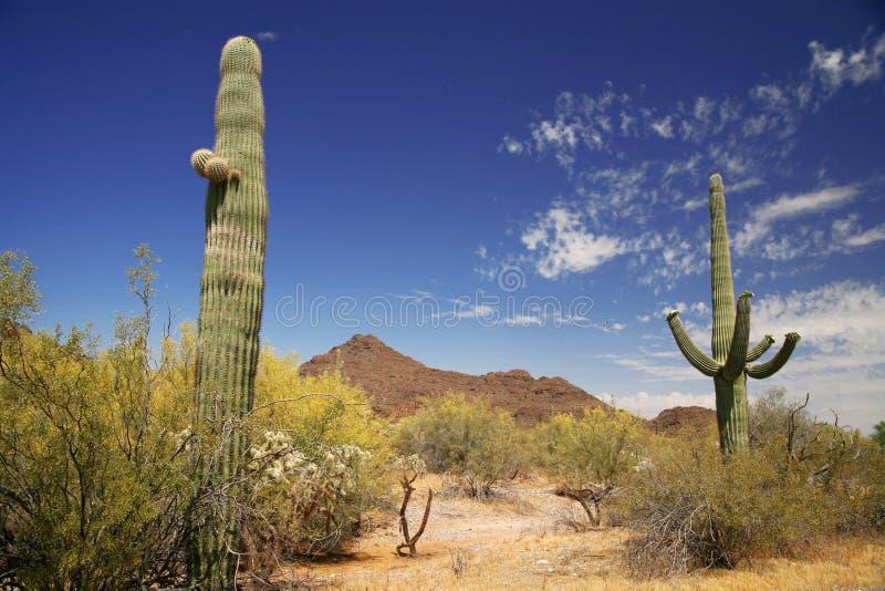 rør för organ för kaktusmonument nationellt arkivbild