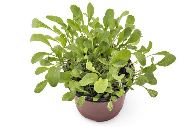 Rúcula verde fresca em um potenciômetro imagens de stock