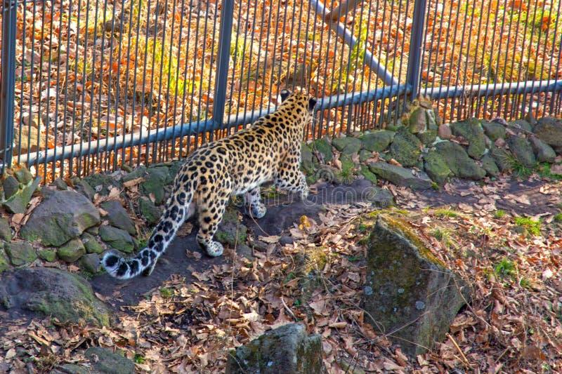 Rússia, leopardo de Primorskiy gato manchado grande foto de stock