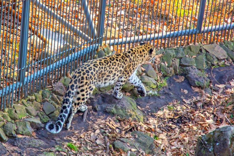 Rússia, leopardo de Primorskiy gato manchado grande Taigal imagens de stock