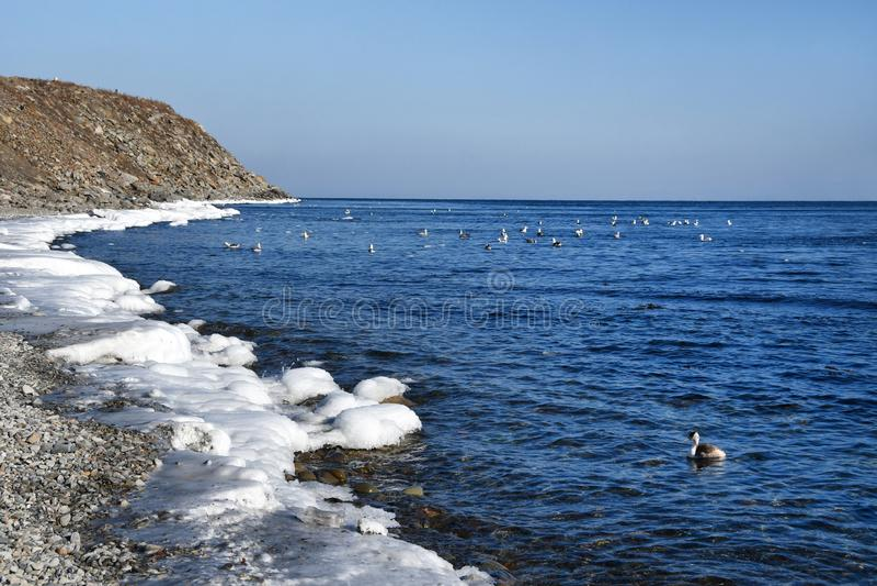 Rússia, Vladivostok, grande mergulhão do pato na baía de Sobol no inverno no tempo claro imagem de stock royalty free