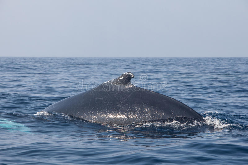 Rückenflosse des Buckelwals stockfotografie