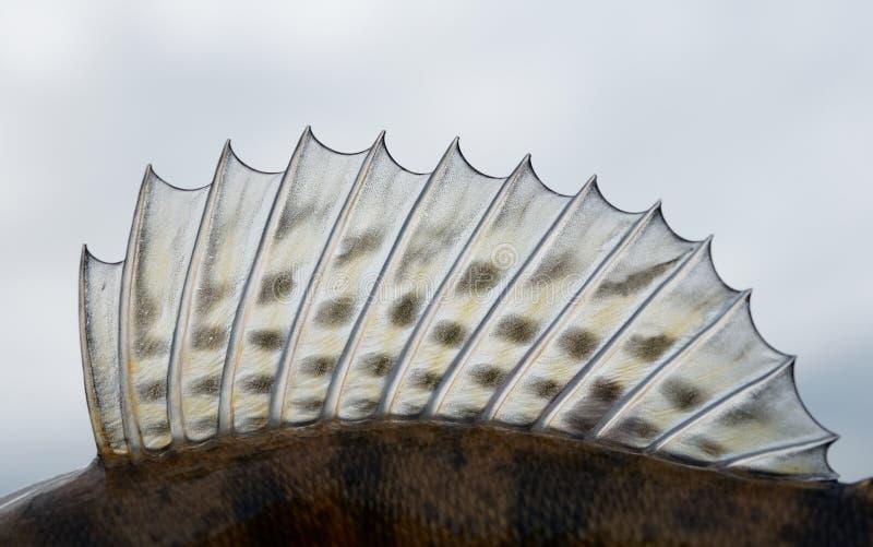 Rückenflosse eines Hornhautflecks (Zander) lizenzfreies stockfoto