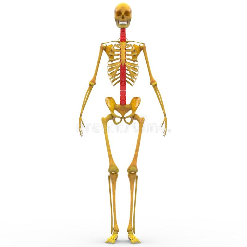 Gemütlich Maus Rückenmark Anatomie Fotos - Anatomie Ideen - finotti.info