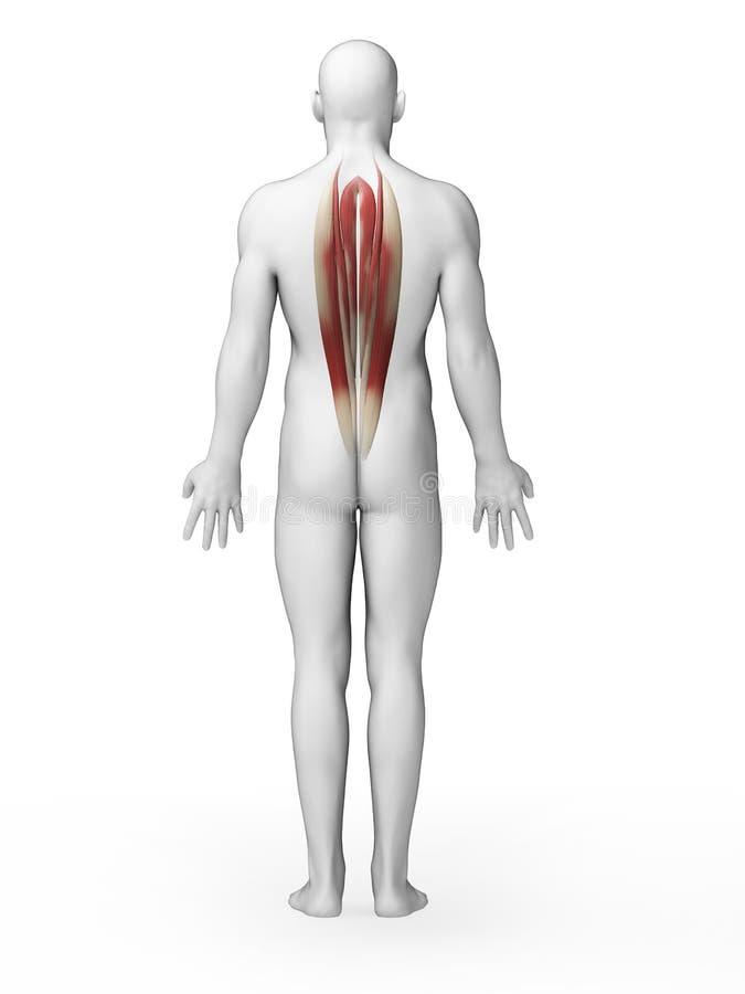 Rückenmuskulatur stock abbildung. Illustration von anatomie - 30723434