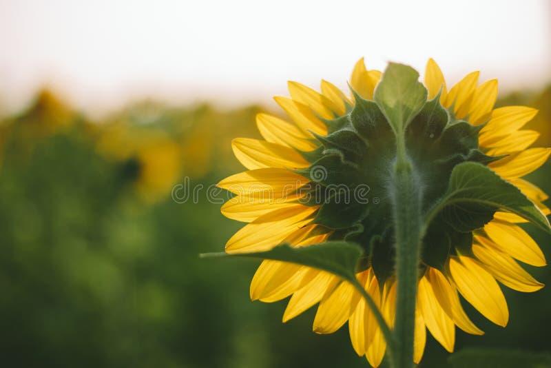 Rückseite der Sonnenblume stockfotografie