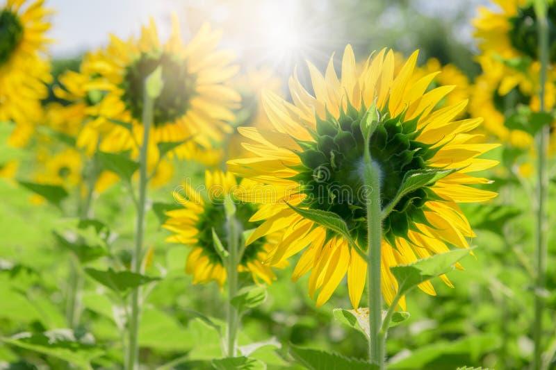 Rückseite der Sonnenblume im Bauernhof mit Sonnenlicht lizenzfreies stockfoto