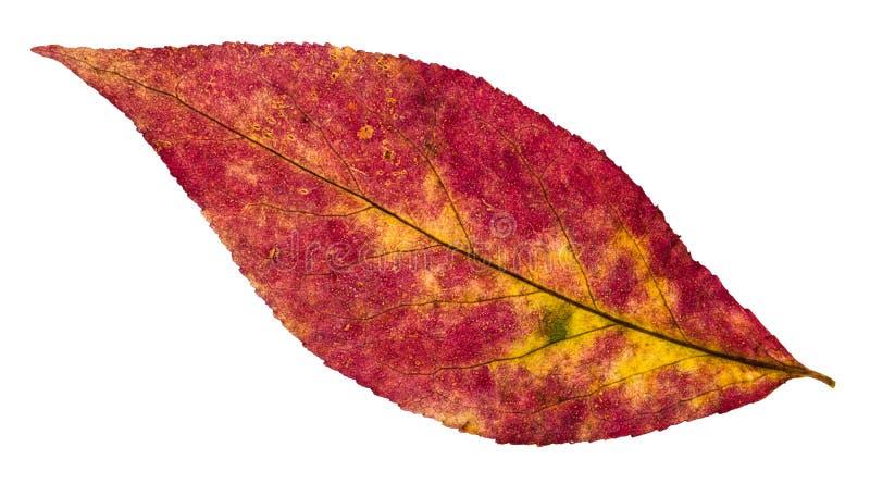 Rückseite des gescheckten Blattes des Herbstes des Weidenbaums lizenzfreie stockbilder