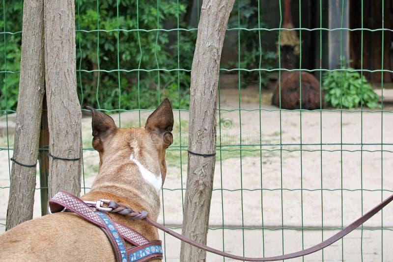 Rückseite des Kopfes eines neugierigen braunen Hundes der französischen Bulldogge auf aufpassenden Tieren der Leine am Zoo durch  stockbilder
