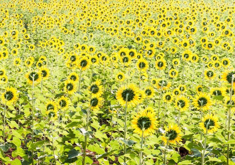 Rückseite des Sonnenblumenfelds stockbild