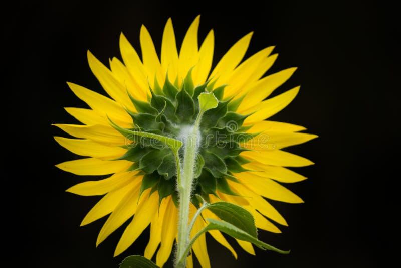 Rückseite einer Sonnenblumennahaufnahme mit schwarzem Hintergrund lizenzfreies stockbild