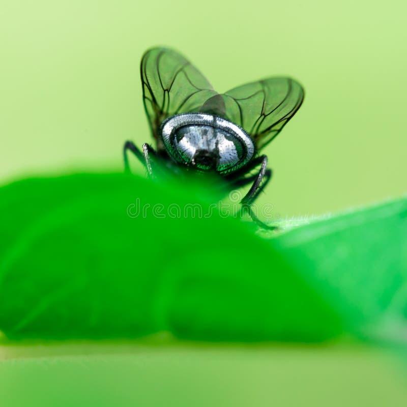 Rückseite/Kolben einer Fliege, Stubenfliege sitzt auf einem Blatt, Musca domestica stockbilder