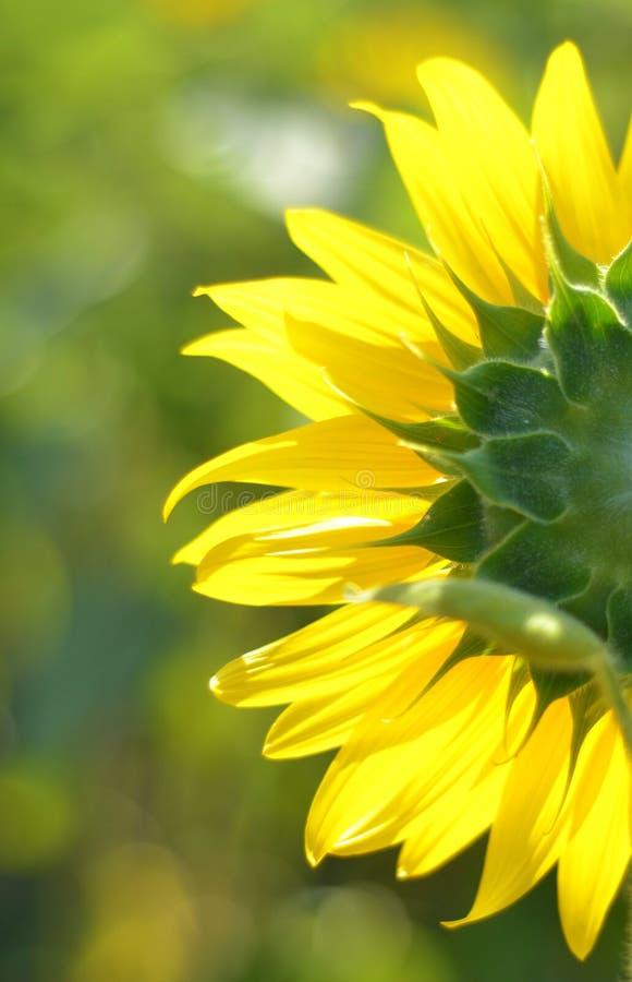 Rückseite-Sonnenblumen-Blüte lizenzfreie stockfotos