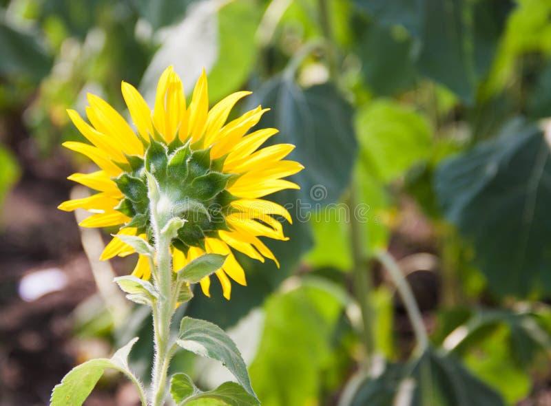 Rückseite-Sonnenblumen-Blüte stockfotografie