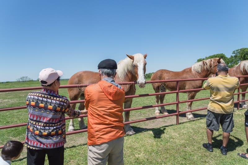 Rückseite von den älteren asiatischen Leuten, die belgisches Kaltblut am Bauernhof in Nord-Texas, Amerika einziehen stockbild
