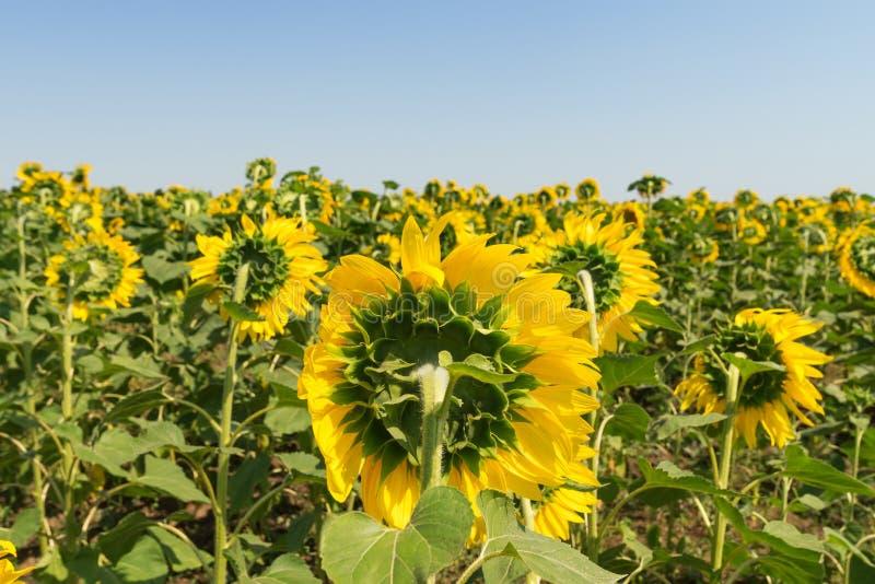 Rückseiten der Blume der Sonnenblume stockfoto