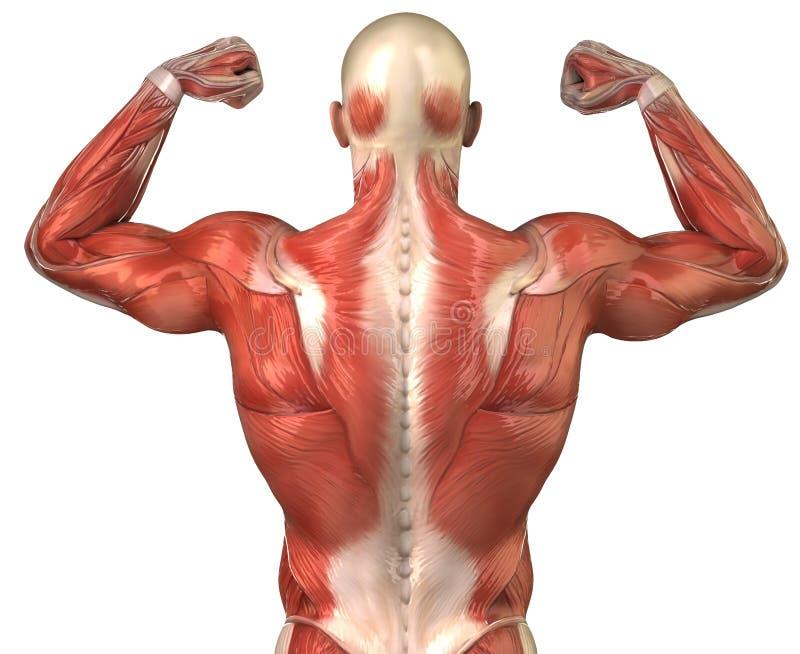 Rückseitiges muskulöses Systemshinterteil des Mannes in der Erbauerhaltung lizenzfreie abbildung