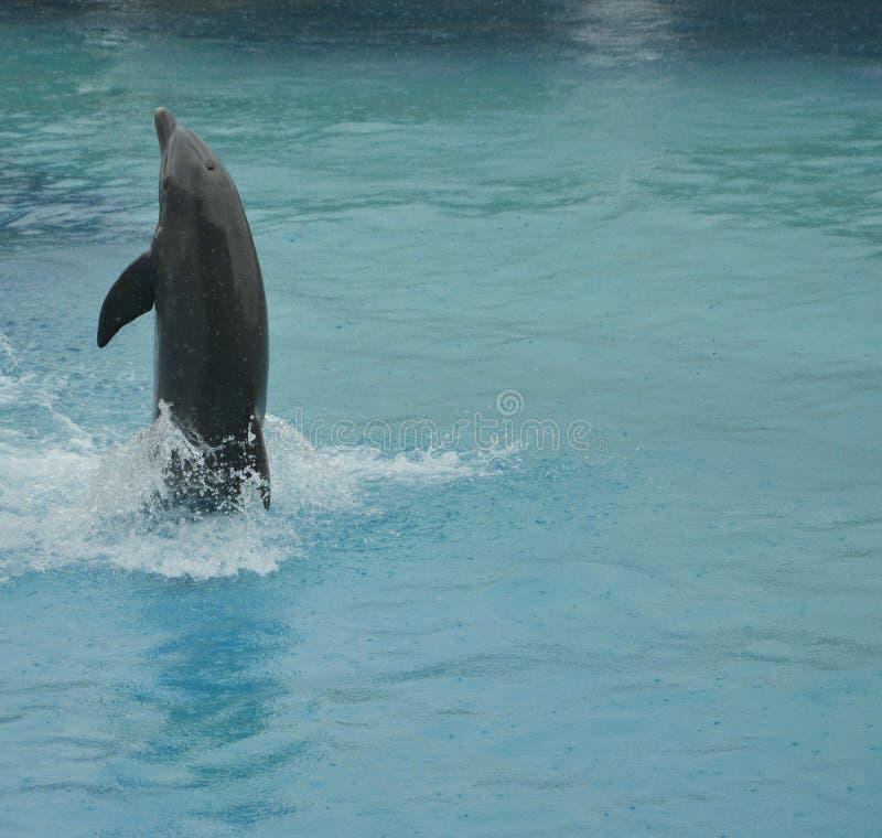 Rückwärtiges laufendes dolpin stockfotos