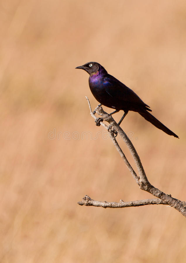 Rüppell´s Starling Long-tailed images stock