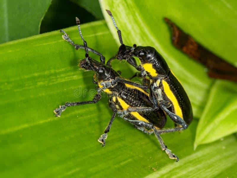 2 Rüsselkäfer, die auf grünem Blatt verbinden lizenzfreies stockfoto