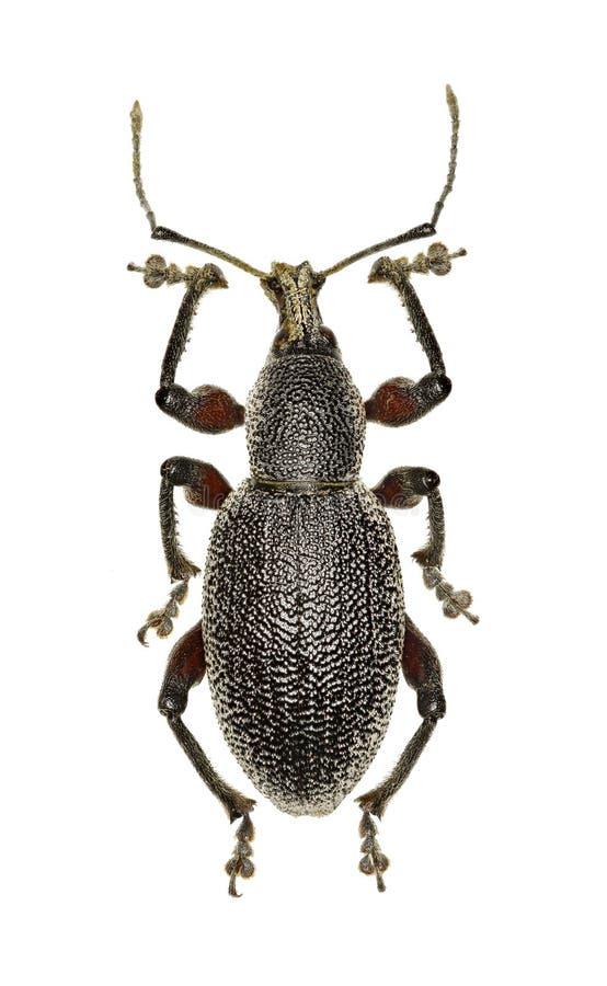 Rüsselkäfer Otiorhynchus auf weißem Hintergrund stockfoto