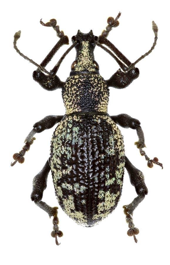 Rüsselkäfer Otiorhynchus-corruptor auf weißem Hintergrund stockbilder