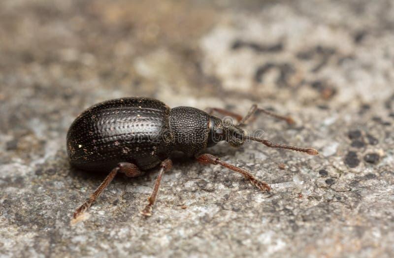 Rüsselkäfer, Otiorhynchus-nodosus auf Felsen stockfotografie