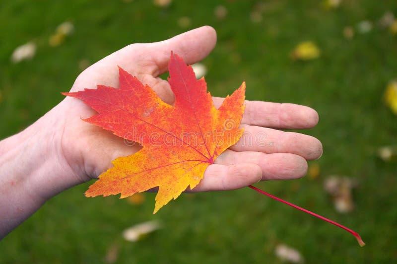 ręce gospodarstwa klonów liściach pomarańcze zdjęcia stock