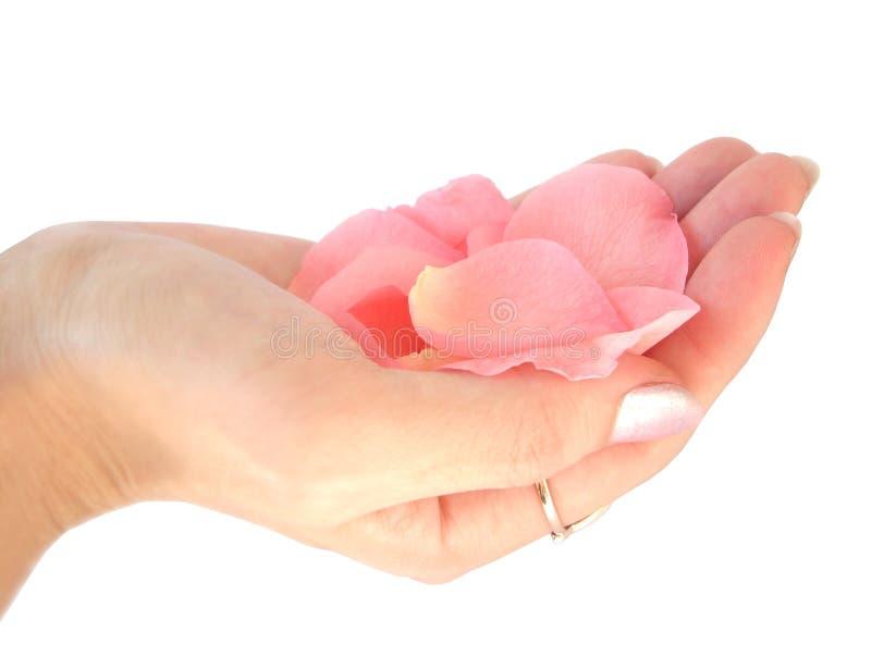 ręce gospodarstwa płatków różową różę obrazy royalty free