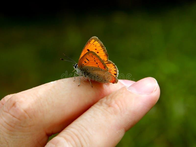 ręce motylia ludzkiej pomarańcze zdjęcie royalty free