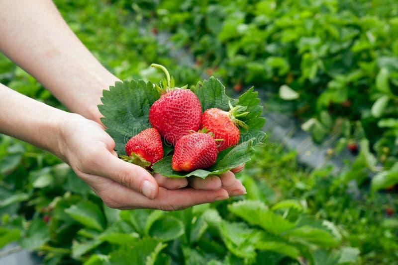 ręk liść strawberrys zdjęcie stock