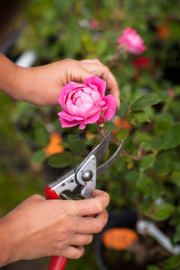 Ręk strzyżenia przycinają róże obraz royalty free