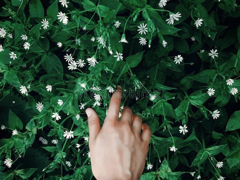 Ręka dotyka zielonej trawy z białymi kwiatami w wiosna parku, env zdjęcie royalty free