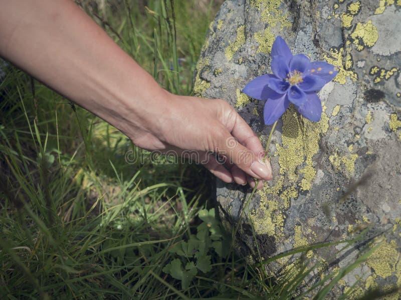 Ręka dziewczyna z kwiatem chabrowym fotografia stock