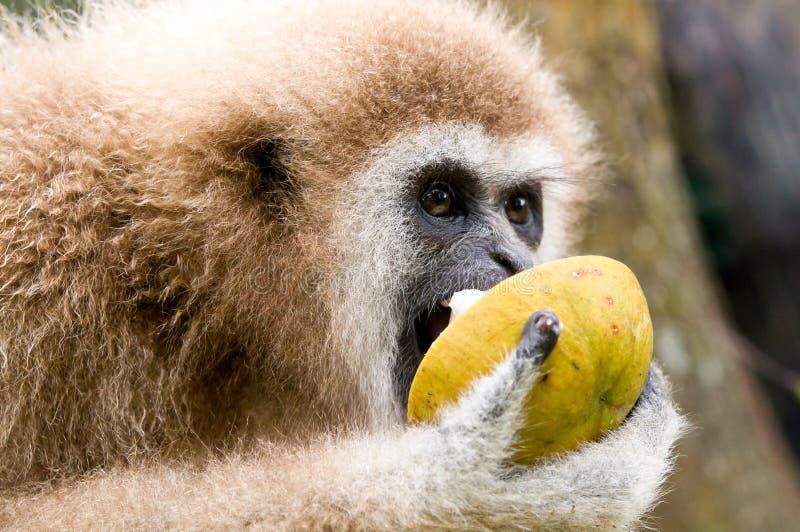 Ręka gibon je dzikiego mangostan zdjęcia royalty free