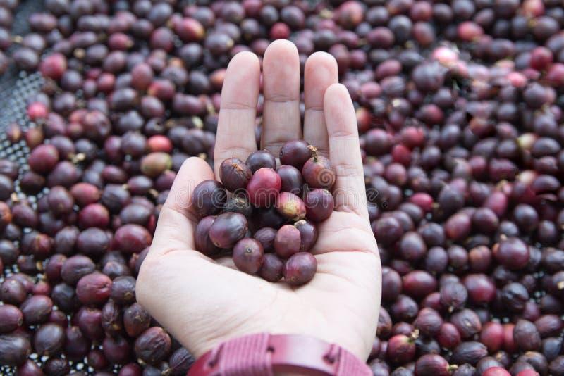 Ręka kobiet trzymać Surowe kawowe fasole piec tekstur?, biznesowy kawowy poj?cie zdjęcie royalty free