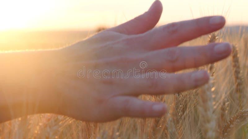 Ręka kobiety omijanie przez pola banatka przy zmierzchem, dotyka ucho banatka fotografia royalty free