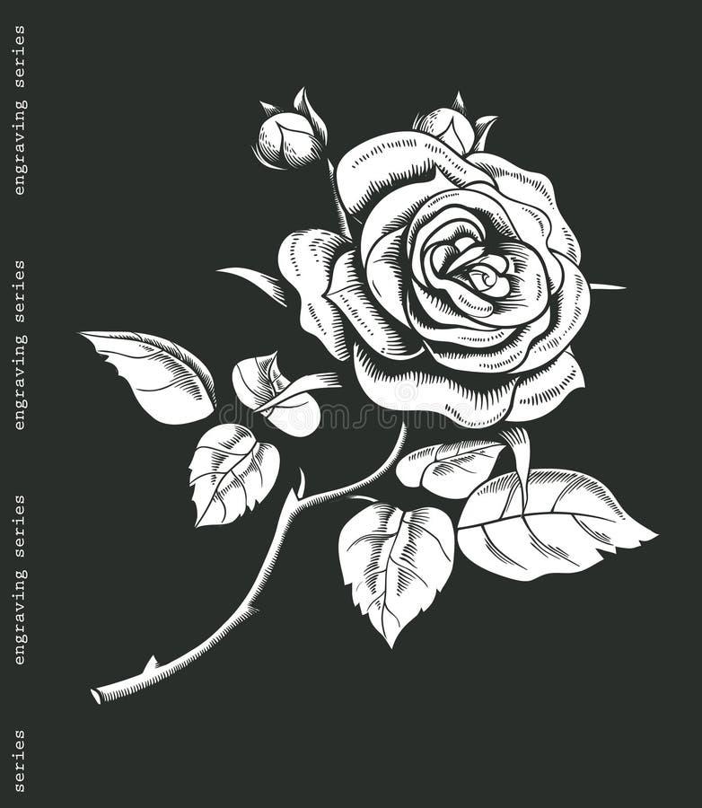 Ręka kreślił biel róży w rocznika rytownictwa stylu Barokowy dekoracyjny element ilustracja wektor
