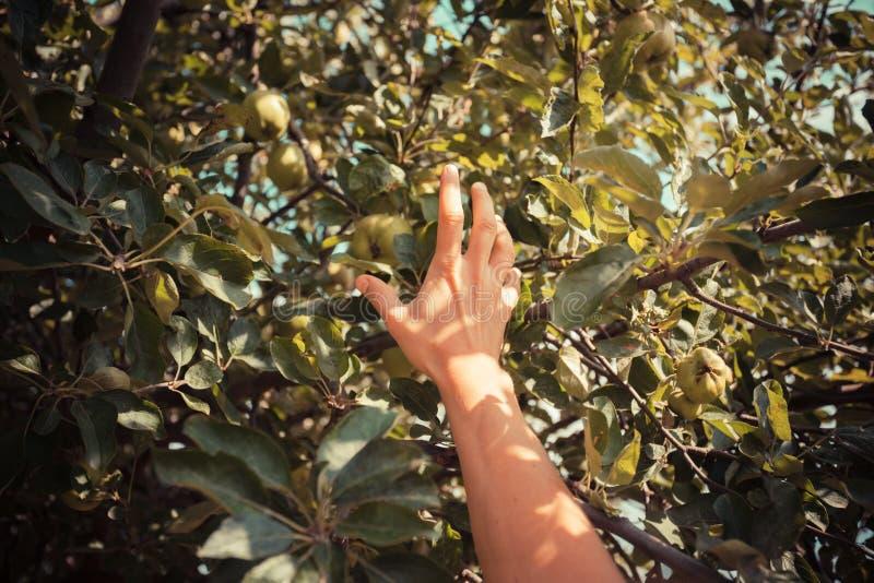 Ręka młoda kobieta gdy podnosi jabłka zdjęcia stock