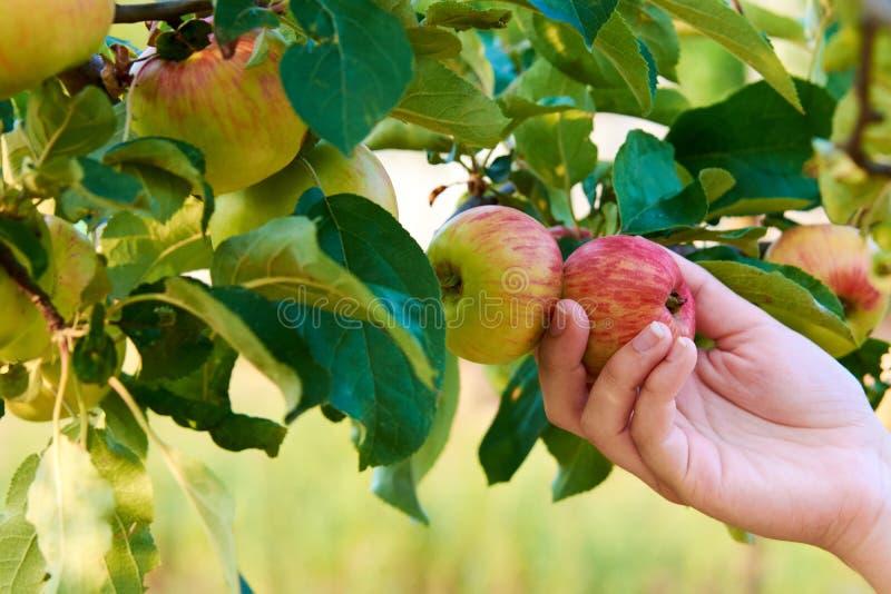 Ręka młodej kobiety mienia czerwony jabłko na drzewie wśród liści Zbierać jesień fotografia stock