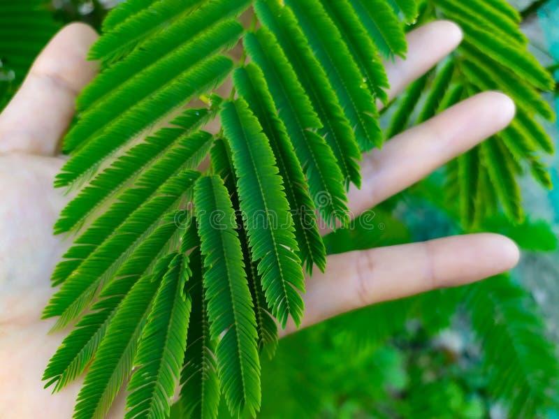 Ręka pod pięknym przygotowania zieleń w liścia amarancie obraz royalty free