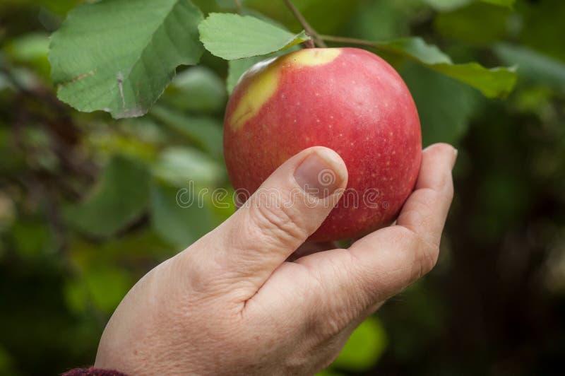 ręka podnosi czerwonego jabłka w jabłoni kobieta obrazy stock