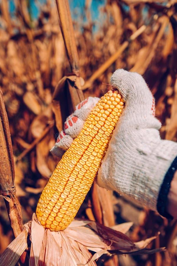 Ręka podnosi kukurydzanych cobs w polu obrazy royalty free