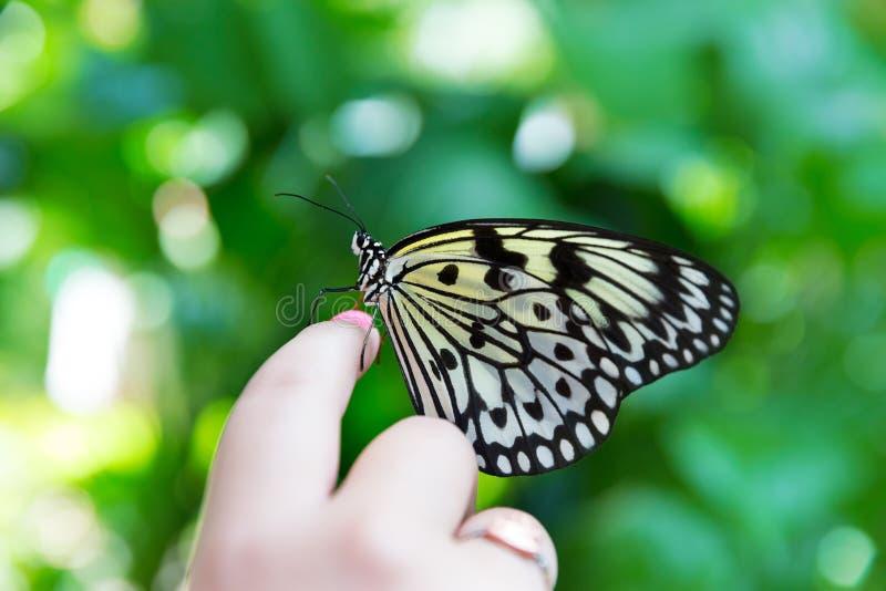 Ręka Ryżowego papieru pomysłu palcowy motyli leuconoe fotografia royalty free