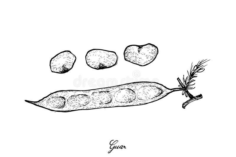 Ręka Rysująca Świeża grono fasola lub Guar royalty ilustracja