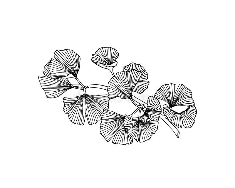 Ręka rysująca ginkgo roślina royalty ilustracja