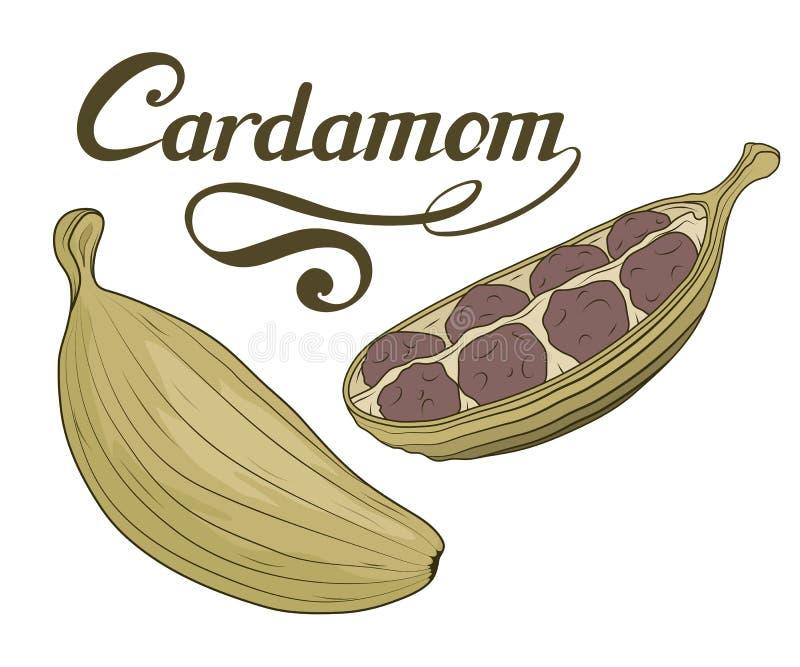 Ręka rysująca kardamon roślina, korzenny składnik, kardamonu logo, zdrowa żywność organiczna, pikantność kardamon odizolowywający royalty ilustracja