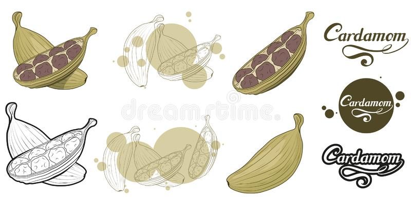 Ręka rysująca kardamon roślina, korzenny składnik, kardamonu logo, zdrowa żywność organiczna, pikantność kardamon odizolowywający ilustracji